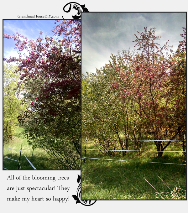 thorn apples in minnesota